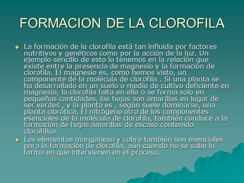 FORMACION DE LA CLOROFILA La formación de la clorofila está tan influida por factores nutritivos y genéticos como por la acción de la luz. Un ejemplo