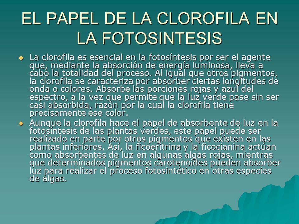 EL PAPEL DE LA CLOROFILA EN LA FOTOSINTESIS La clorofila es esencial en la fotosíntesis por ser el agente que, mediante la absorción de energía lumino