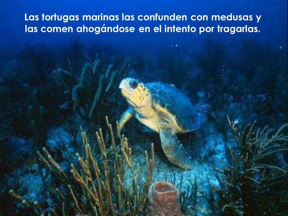 Las tortugas marinas las confunden con medusas y las comen ahogándose en el intento por tragarlas.
