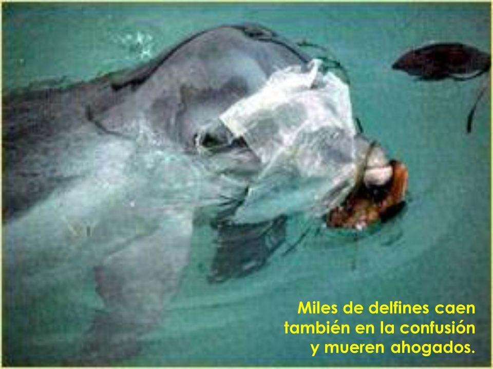 Miles de delfines caen también en la confusión y mueren ahogados.