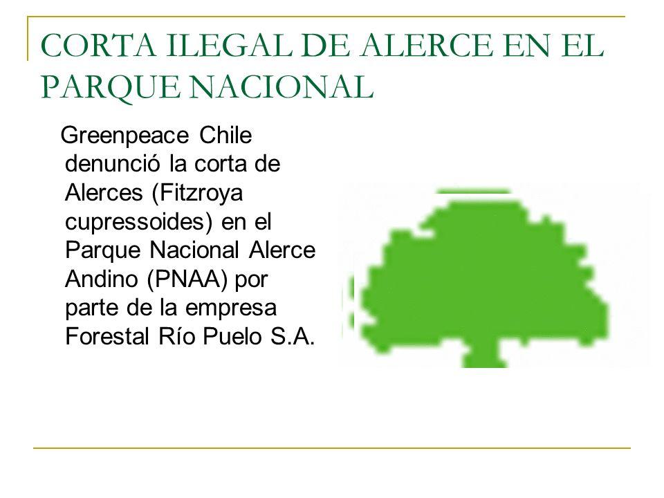 Greenpeace Chile denunció la corta de Alerces (Fitzroya cupressoides) en el Parque Nacional Alerce Andino (PNAA) por parte de la empresa Forestal Río