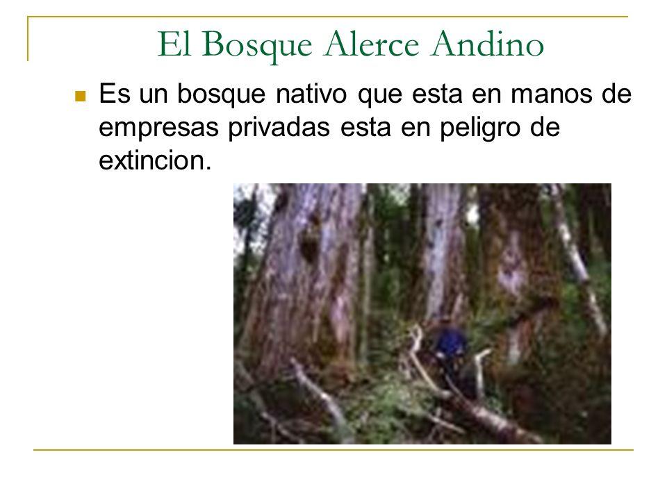 El Bosque Alerce Andino Es un bosque nativo que esta en manos de empresas privadas esta en peligro de extincion.