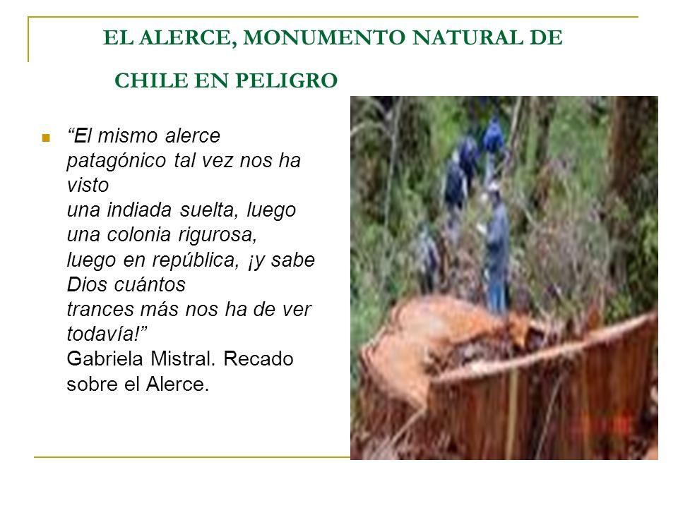 EL ALERCE, MONUMENTO NATURAL DE CHILE EN PELIGRO El mismo alerce patagónico tal vez nos ha visto una indiada suelta, luego una colonia rigurosa, luego