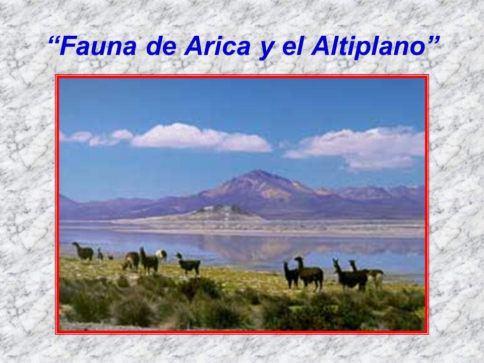 Una gran variedad de fauna se encuentra tanto en la zona costera como en el altiplano lo que hace de Arica un lugar favorito para observadores de todo el mundo.