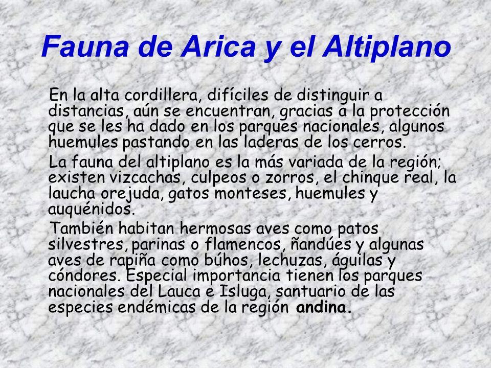 Fauna de Arica y el Altiplano En la alta cordillera, difíciles de distinguir a distancias, aún se encuentran, gracias a la protección que se les ha da