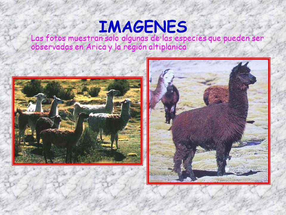 IMAGENES Las fotos muestran solo algunas de las especies que pueden ser observadas en Arica y la región altiplanica