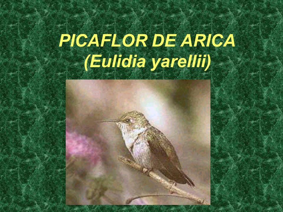 PICAFLOR DE ARICA (Eulidia yarellii)