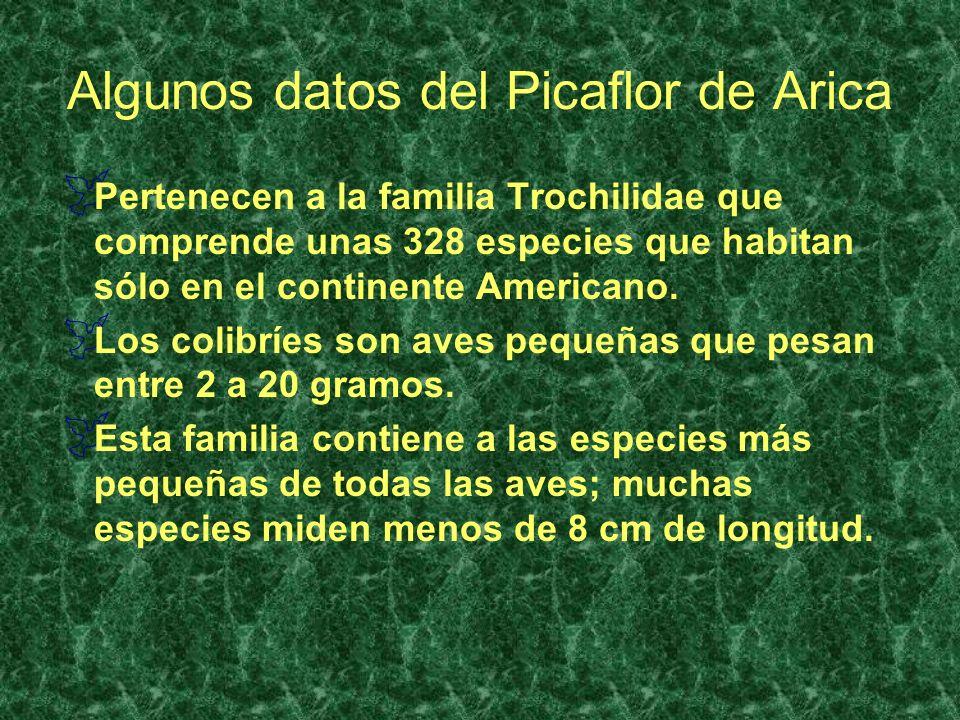 Algunos datos del Picaflor de Arica Pertenecen a la familia Trochilidae que comprende unas 328 especies que habitan sólo en el continente Americano. L