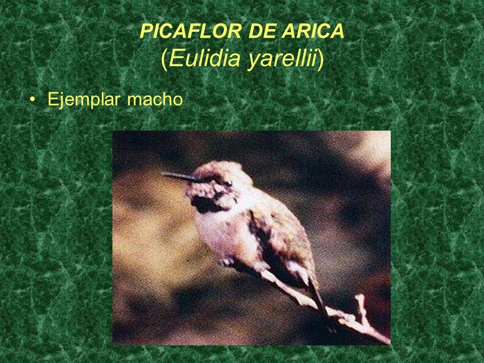 PICAFLOR DE ARICA (Eulidia yarellii) Ejemplar macho