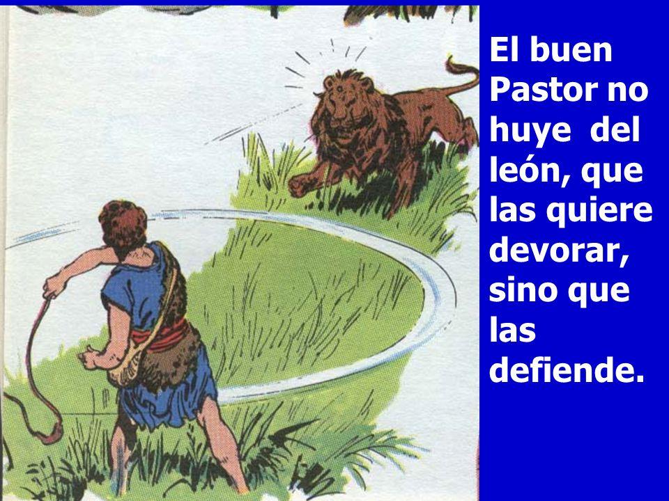 El buen Pastor no huye del león, que las quiere devorar, sino que las defiende.
