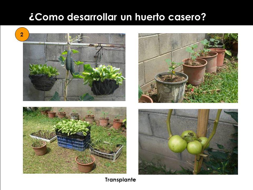 ¿ Como desarrollar un huerto casero? 2 Transplante
