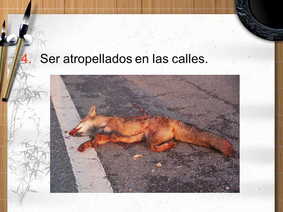 4.Ser atropellados en las calles.