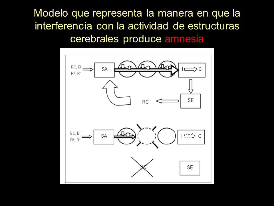 Modelo que representa la manera en que la interferencia con la actividad de estructuras cerebrales produce amnesia