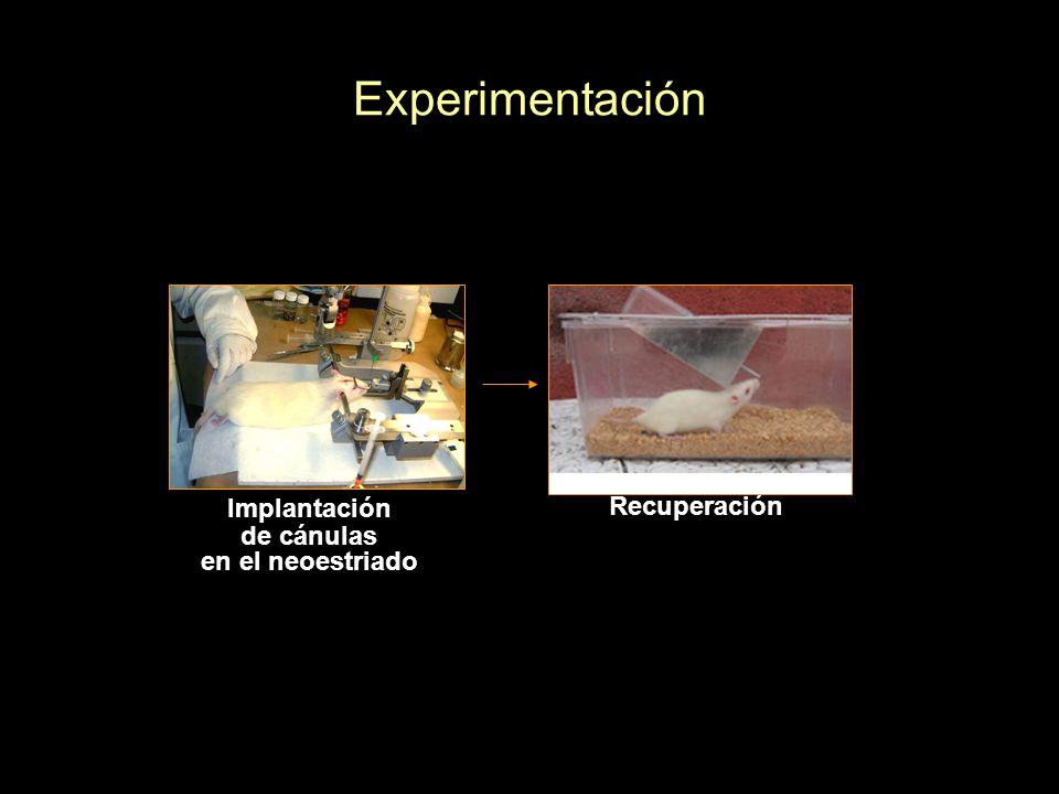 Experimentación Recuperación Implantación de cánulas en el neoestriado Inyección