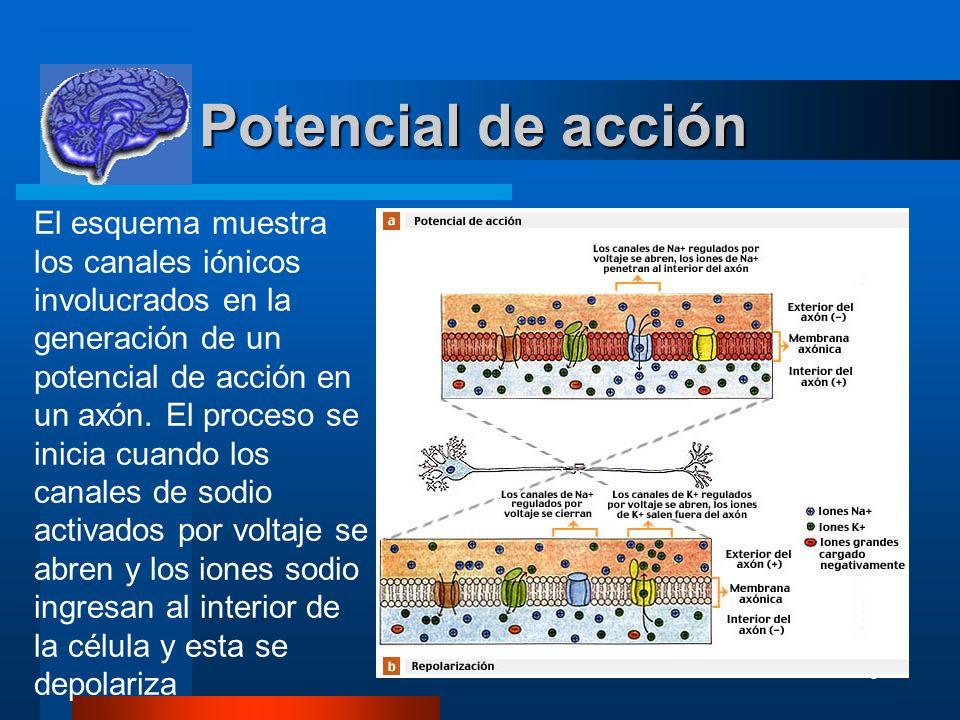 6 Potencial de acción Potencial de acción El esquema muestra los canales iónicos involucrados en la generación de un potencial de acción en un axón. E