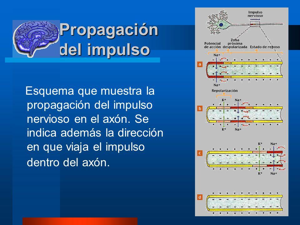 7 Propagación del impulso Propagación del impulso Esquema que muestra la propagación del impulso nervioso en el axón. Se indica además la dirección en