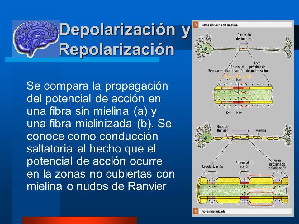 8 Depolarización y Repolarización Depolarización y Repolarización Se compara la propagación del potencial de acción en una fibra sin mielina (a) y una