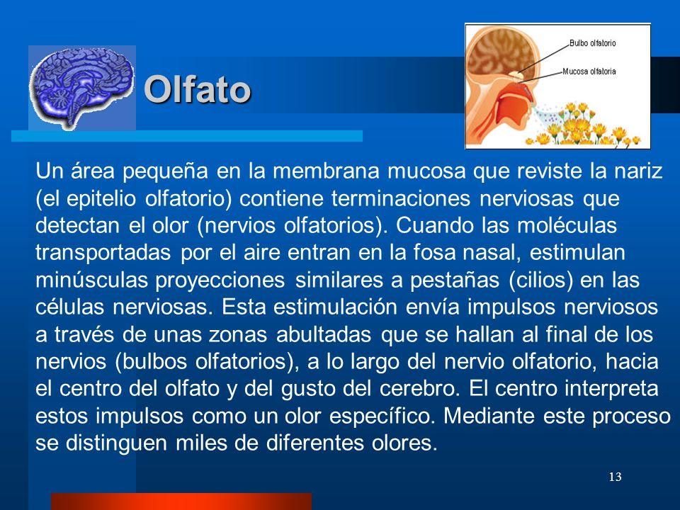 13 Olfato Olfato Un área pequeña en la membrana mucosa que reviste la nariz (el epitelio olfatorio) contiene terminaciones nerviosas que detectan el o