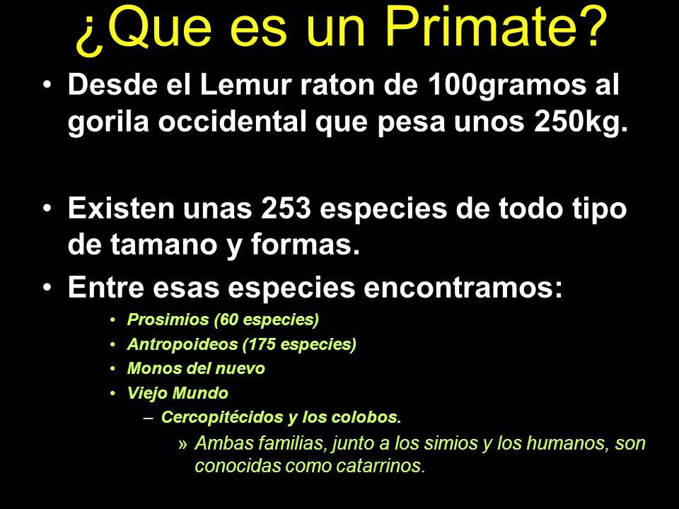 ¿Que es un Primate? Desde el Lemur raton de 100gramos al gorila occidental que pesa unos 250kg. Existen unas 253 especies de todo tipo de tamano y for