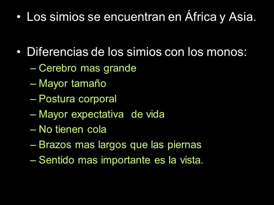 Los simios se encuentran en África y Asia. Diferencias de los simios con los monos: –Cerebro mas grande –Mayor tamaño –Postura corporal –Mayor expecta