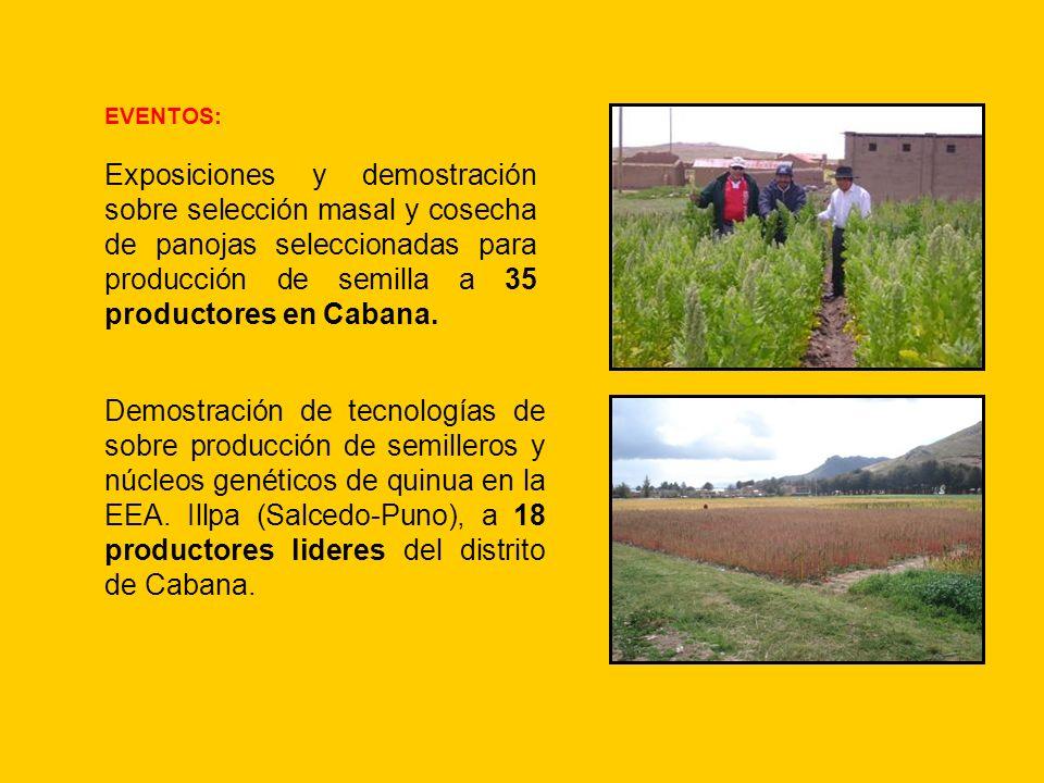EVENTOS: Exposiciones y demostración sobre selección masal y cosecha de panojas seleccionadas para producción de semilla a 35 productores en Cabana. D