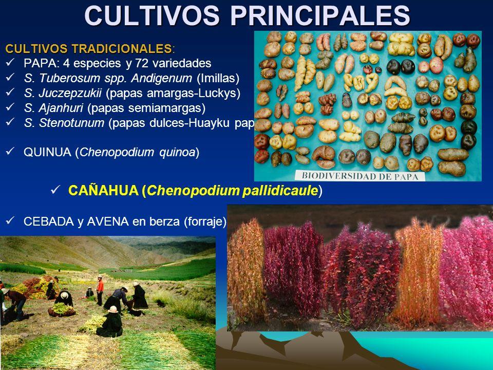 CULTIVOS PRINCIPALES CULTIVOS TRADICIONALES CULTIVOS TRADICIONALES: PAPA: 4 especies y 72 variedades S. Tuberosum spp. Andigenum (Imillas) S. Juczepzu