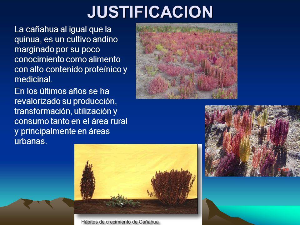 JUSTIFICACION La cañahua al igual que la quinua, es un cultivo andino marginado por su poco conocimiento como alimento con alto contenido proteínico y