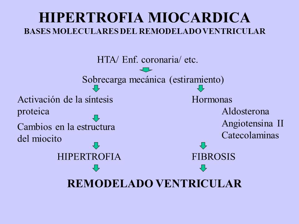 HIPERTROFIA MIOCARDICA BASES MOLECULARES DEL REMODELADO VENTRICULAR HTA/ Enf. coronaria/ etc. Sobrecarga mecánica (estiramiento) Activación de la sínt