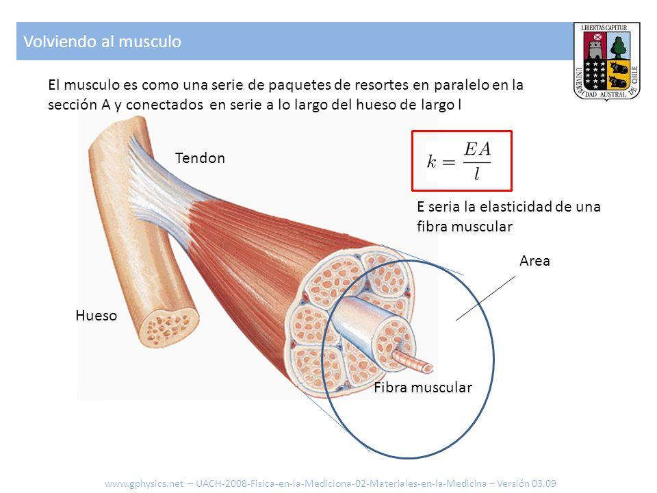Considerando el hueso: elongación Deformación ε en función del largo l y elongación.