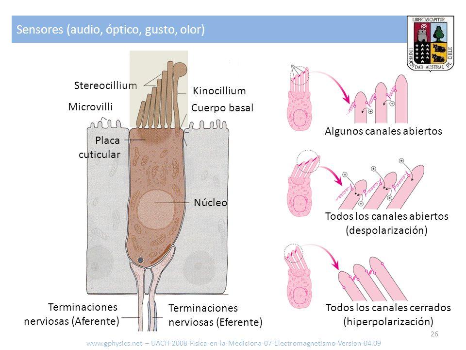 Sensores (audio, óptico, gusto, olor) www.gphysics.net – UACH-2008-Fisica-en-la-Mediciona-07-Electromagnetismo-Version-04.09 26 Terminaciones nerviosa