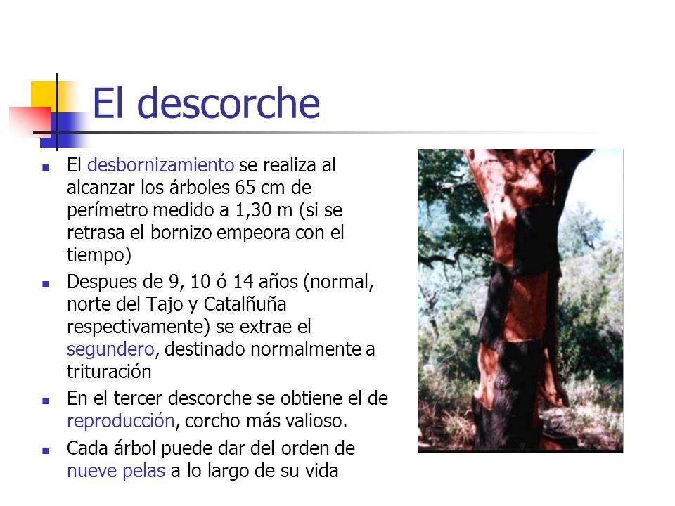 El descorche El desbornizamiento se realiza al alcanzar los árboles 65 cm de perímetro medido a 1,30 m (si se retrasa el bornizo empeora con el tiempo