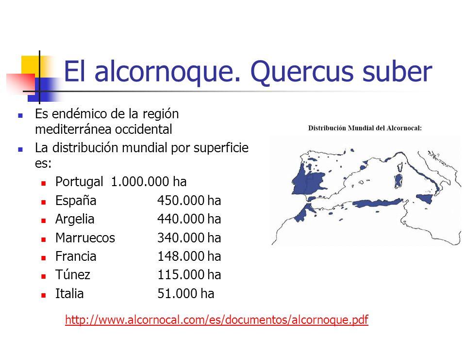 El alcornoque en España Existen masas extensas en: Andalucía meridional y occidental (Cádiz, Huelva, Sevilla, Córdoba, Málaga) Extremadura Montes de Toledo Parte de Castilla León Cataluña En la C.V.