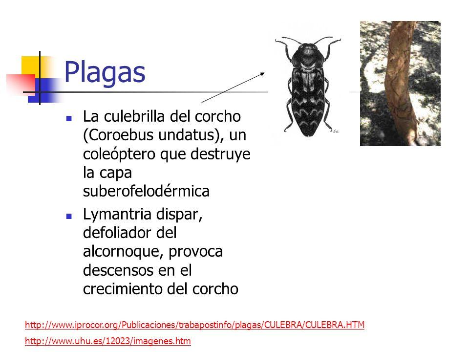Plagas La culebrilla del corcho (Coroebus undatus), un coleóptero que destruye la capa suberofelodérmica Lymantria dispar, defoliador del alcornoque,