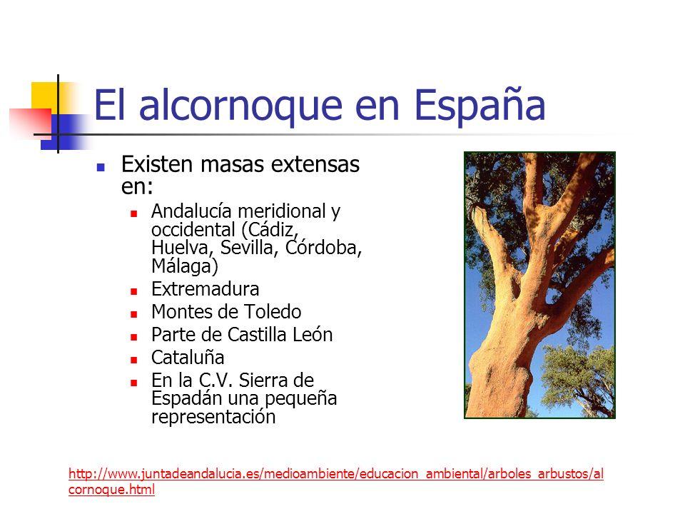 El alcornoque en España Existen masas extensas en: Andalucía meridional y occidental (Cádiz, Huelva, Sevilla, Córdoba, Málaga) Extremadura Montes de T