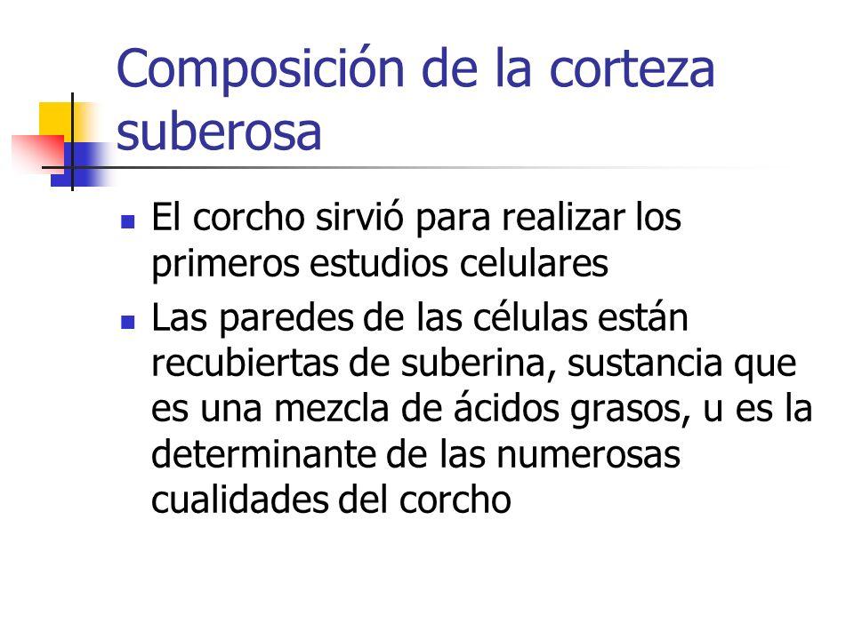 Composición de la corteza suberosa El corcho sirvió para realizar los primeros estudios celulares Las paredes de las células están recubiertas de sube