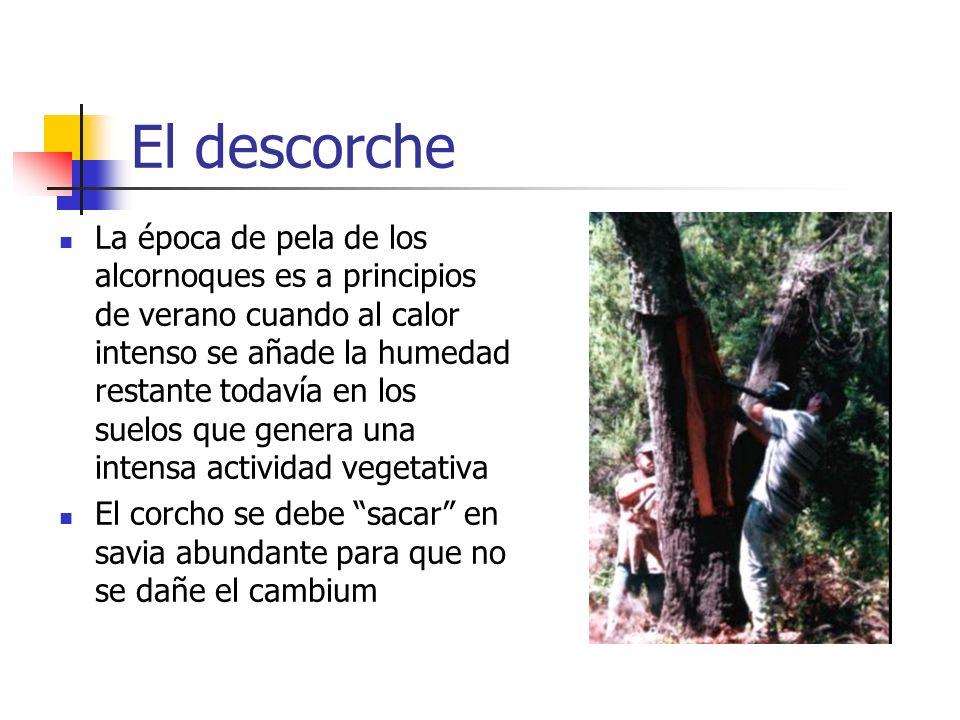 El descorche El desbornizamiento se realiza al alcanzar los árboles 65 cm de perímetro medido a 1,30 m (si se retrasa el bornizo empeora con el tiempo) Despues de 9, 10 ó 14 años (normal, norte del Tajo y Catalñuña respectivamente) se extrae el segundero, destinado normalmente a trituración En el tercer descorche se obtiene el de reproducción, corcho más valioso.