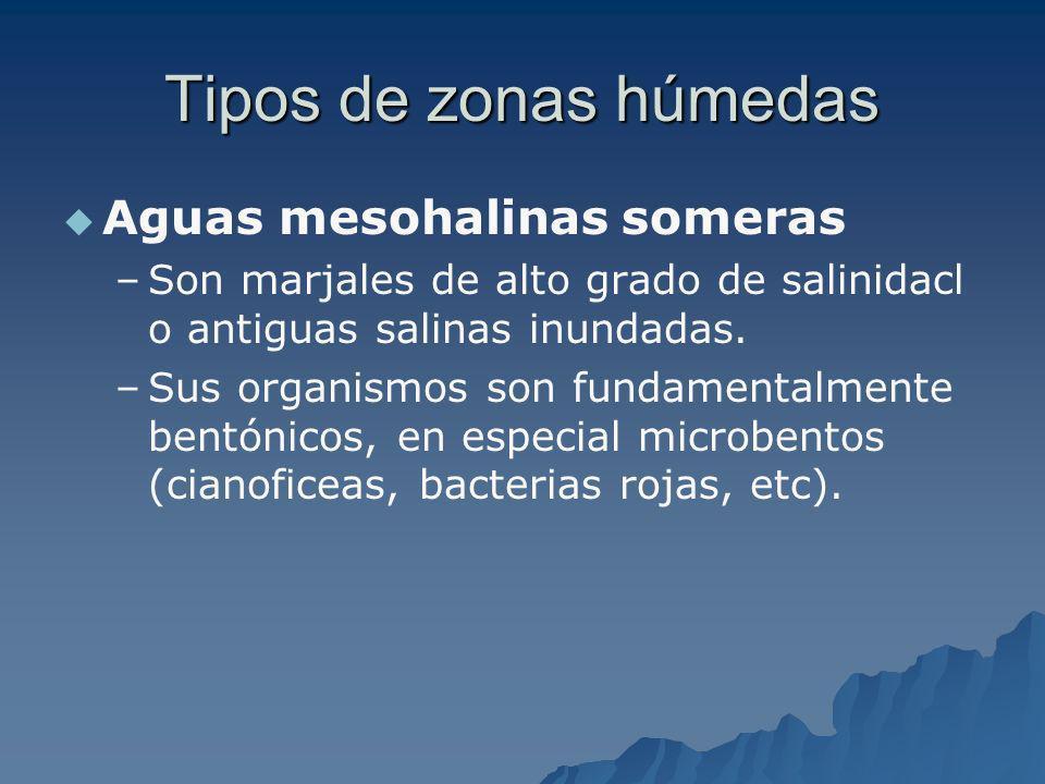 Tipos de zonas húmedas Aguas mesohalinas someras – –Son marjales de alto grado de salinidacl o antiguas salinas inundadas. – –Sus organismos son funda