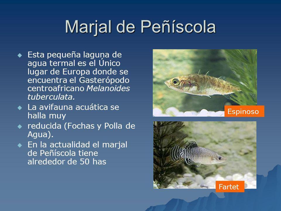 Marjal de Peñíscola Esta pequeña laguna de agua termal es el Único lugar de Europa donde se encuentra el Gasterópodo centroafricano Melanoides tubercu