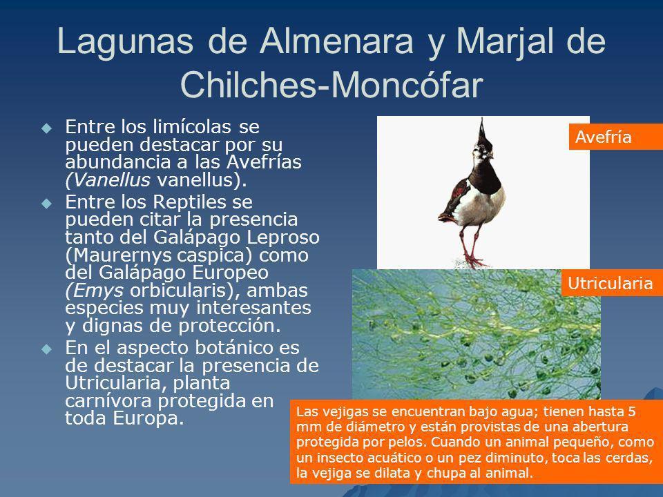 Lagunas de Almenara y Marjal de Chilches-Moncófar Entre los limícolas se pueden destacar por su abundancia a las Avefrías (Vanellus vanellus). Entre l