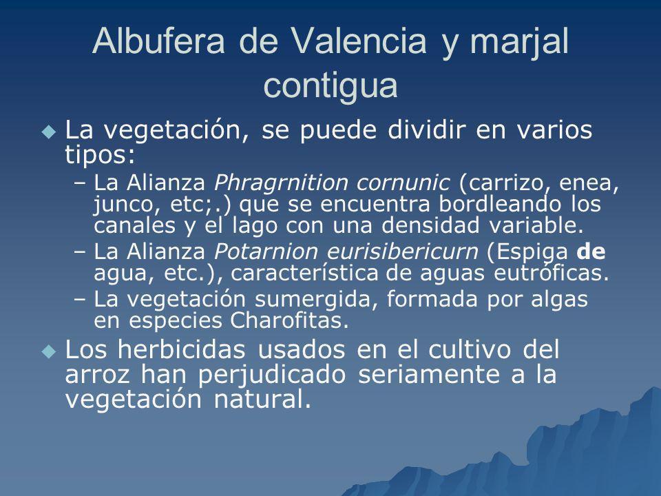 Albufera de Valencia y marjal contigua La vegetación, se puede dividir en varios tipos: – –La Alianza Phragrnition cornunic (carrizo, enea, junco, etc