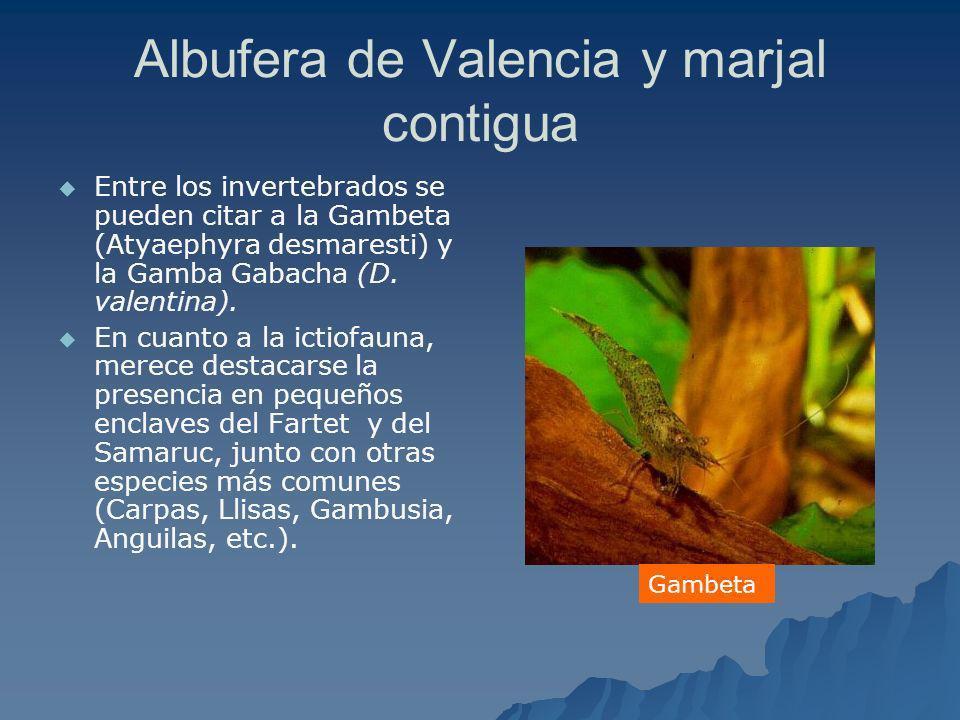 Albufera de Valencia y marjal contigua Entre los invertebrados se pueden citar a la Gambeta (Atyaephyra desmaresti) y la Gamba Gabacha (D. valentina).