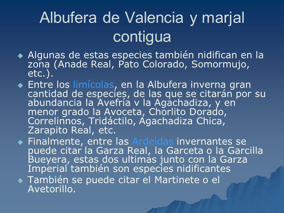 Albufera de Valencia y marjal contigua Algunas de estas especies también nidifican en la zona (Anade Real, Pato Colorado, Somormujo, etc.). Entre los