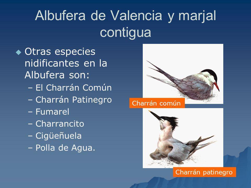 Albufera de Valencia y marjal contigua Otras especies nidificantes en la Albufera son: – –El Charrán Común – –Charrán Patinegro – –Fumarel – –Charranc
