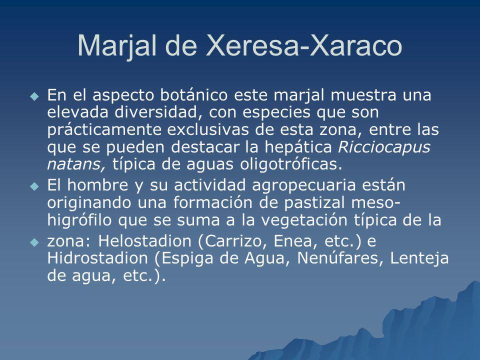 Marjal de Xeresa-Xaraco En el aspecto botánico este marjal muestra una elevada diversidad, con especies que son prácticamente exclusivas de esta zona,
