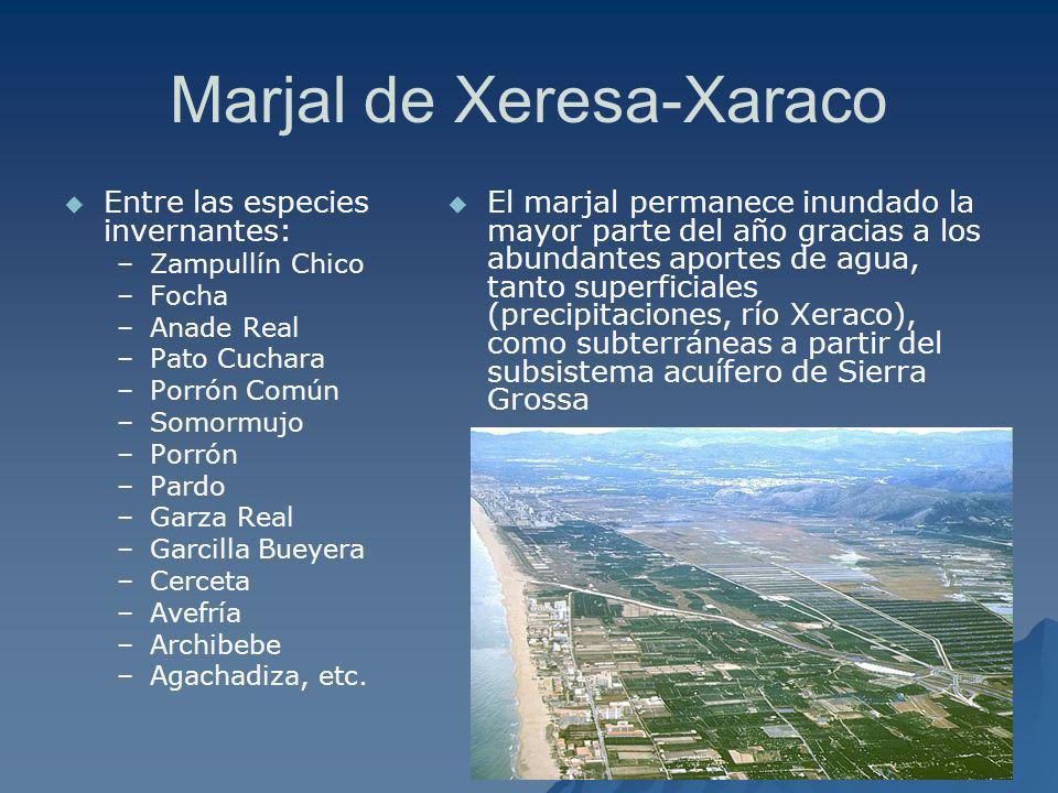Marjal de Xeresa-Xaraco Entre las especies invernantes: – –Zampullín Chico – –Focha – –Anade Real – –Pato Cuchara – –Porrón Común – –Somormujo – –Porr