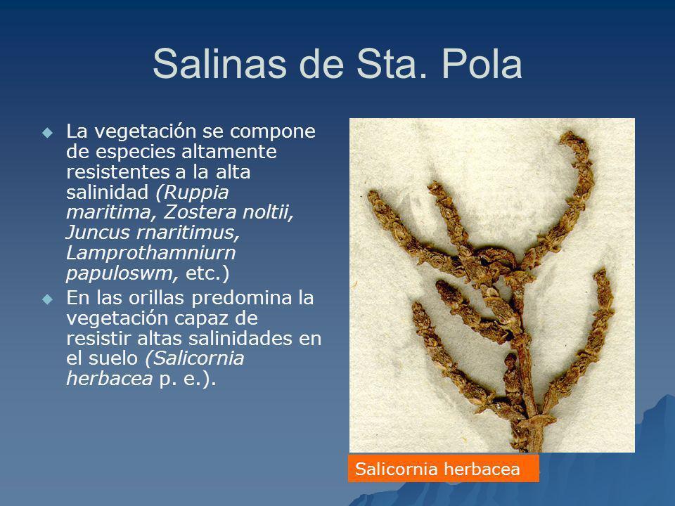 Salinas de Sta. Pola La vegetación se compone de especies altamente resistentes a la alta salinidad (Ruppia maritima, Zostera noltii, Juncus rnaritimu