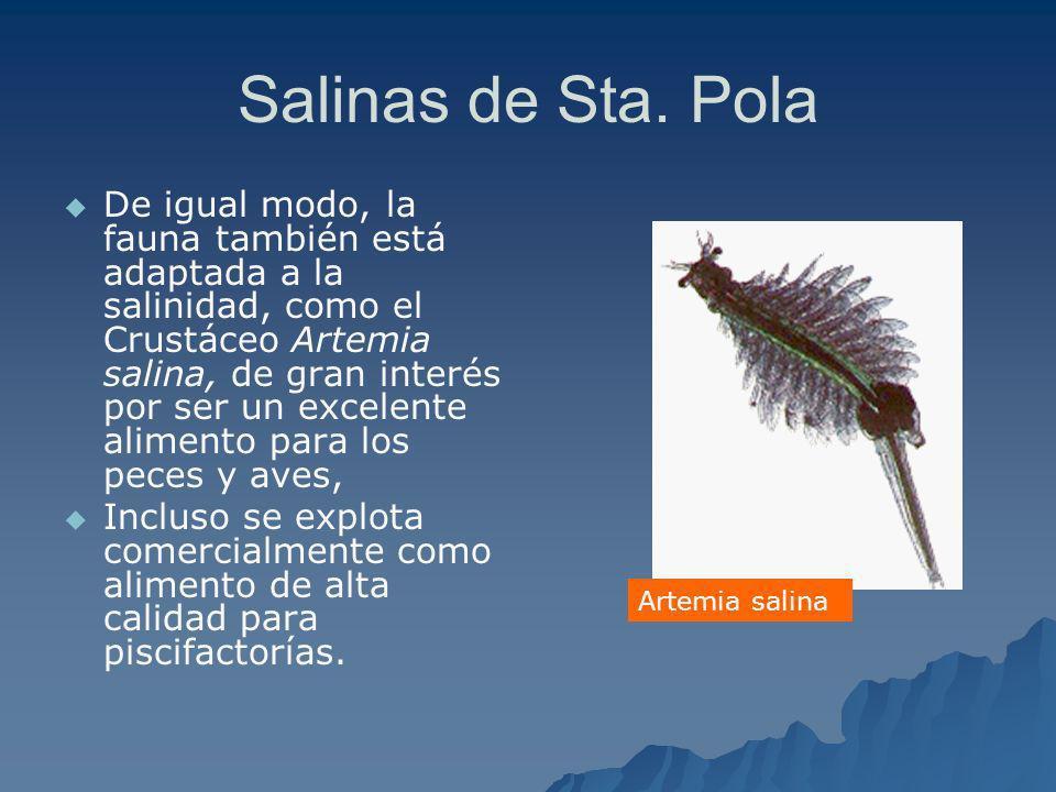 Salinas de Sta. Pola De igual modo, la fauna también está adaptada a la salinidad, como el Crustáceo Artemia salina, de gran interés por ser un excele