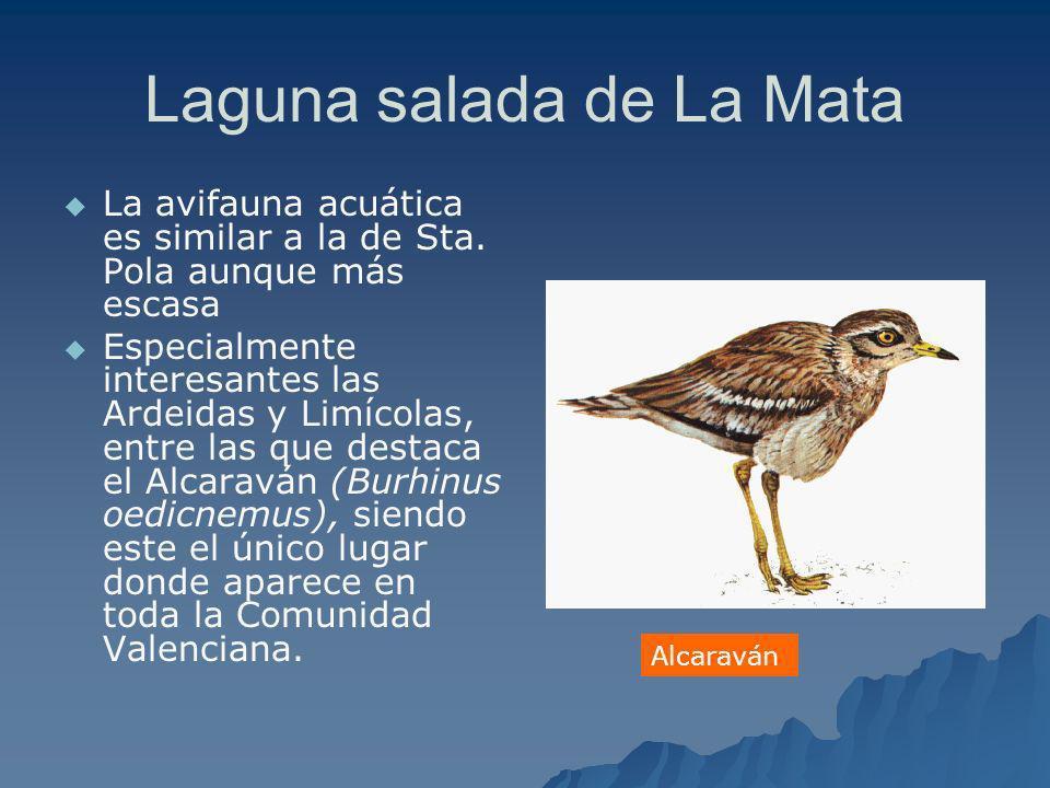 Laguna salada de La Mata La avifauna acuática es similar a la de Sta. Pola aunque más escasa Especialmente interesantes las Ardeidas y Limícolas, entr