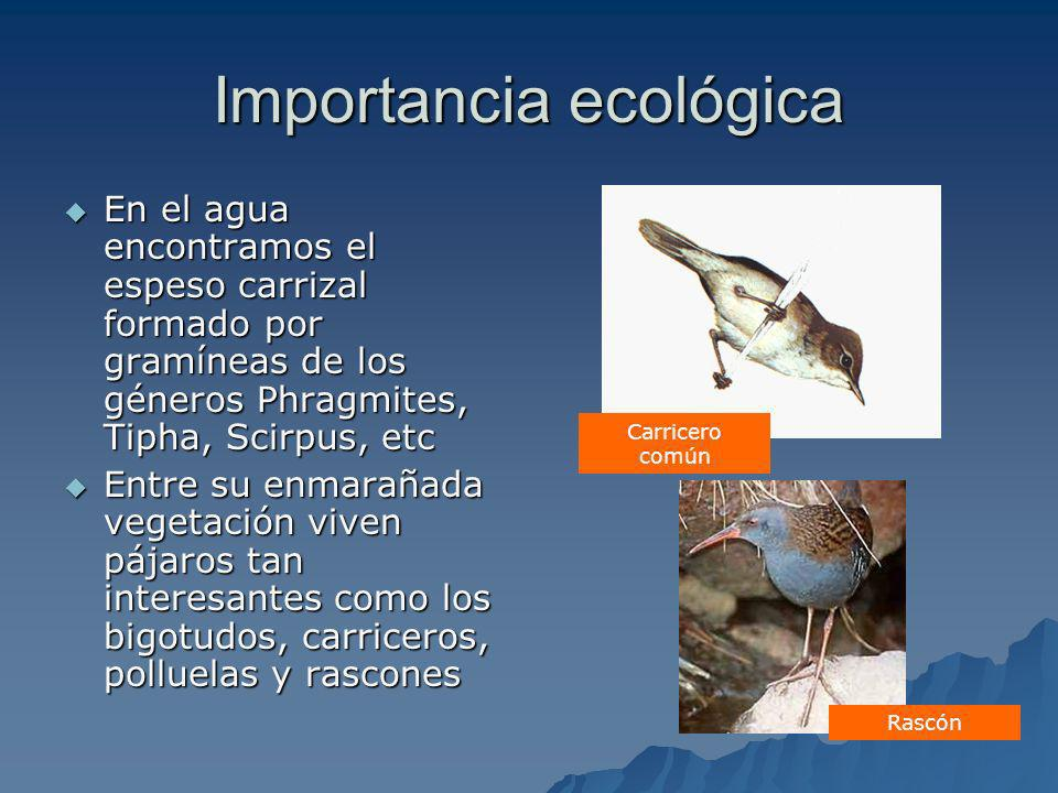 Importancia ecológica En el agua encontramos el espeso carrizal formado por gramíneas de los géneros Phragmites, Tipha, Scirpus, etc En el agua encont