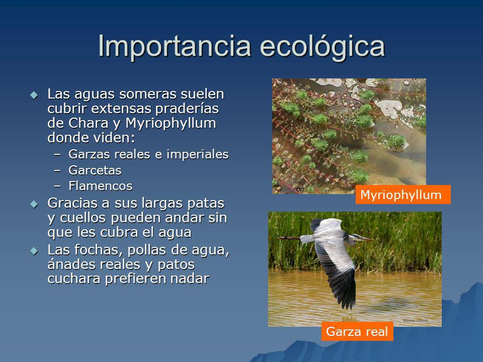 Importancia ecológica Donde las aguas son más profundas se sumergen los patos buceadores como los porrones comunes, patos colorados, somormujos y zampullines Donde las aguas son más profundas se sumergen los patos buceadores como los porrones comunes, patos colorados, somormujos y zampullines Los mamíferos están representados por la rata de agua Los mamíferos están representados por la rata de agua